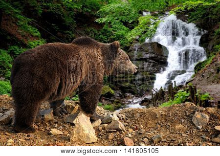 Big Brown Bear Standing On A Rock Near A Waterfall