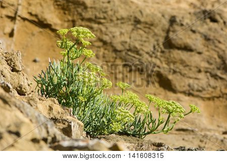 Rock samphire (Crithmum maritimum) plant on coast. An edible plant in the carrot family (Apiaceae) often known as sea fennel in flower on the British coast