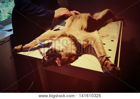 Dog under anesthesia is fixed on a surgical table, filter