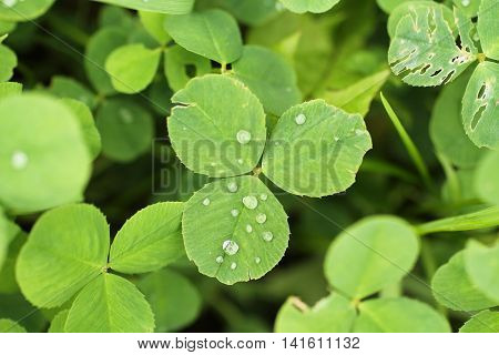 close photo of clover leaf with drops of water
