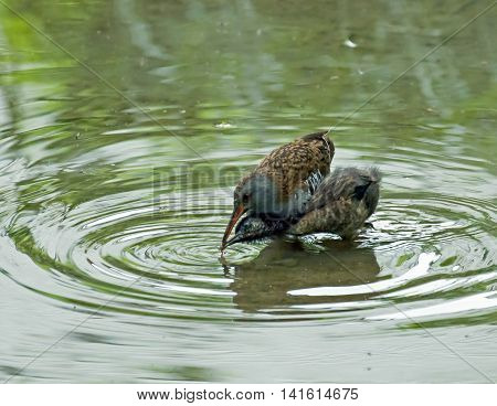 Water bird adult Water Rail feeding young chick.