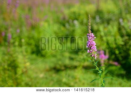 Closeup of a purple pink blossoming Purple Loosestrife or Lythrum salicaria plant in a Dutch nature reserve early in the morning of a sunny day in the summer season.