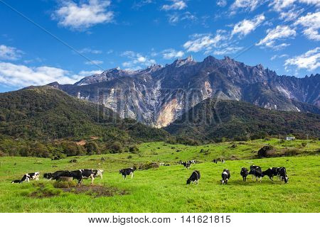Rural landscape with grazing cows and Kinabalu mountain at background in Kundasang, Sabah, Borneo, Malaysia