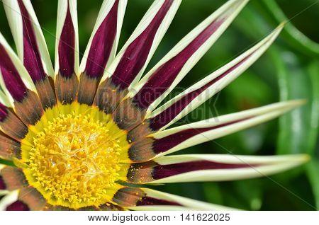 Beautiful Yellow-purple Gazania Flowers