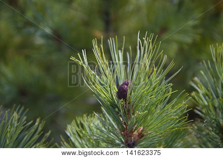 A Green Sprig Of Cedar Closeup.