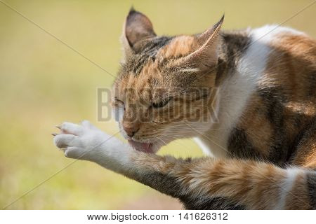 A Tri Colored House Cat Cleaning Its Back Leg
