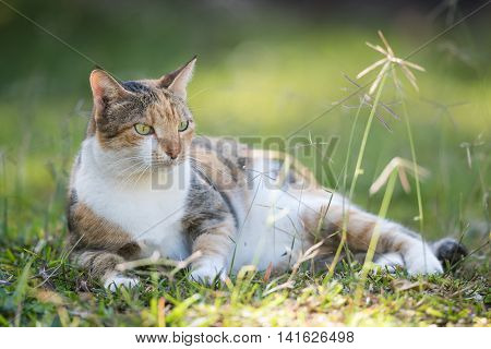 A Tri Colored House Cat Lying In Grass