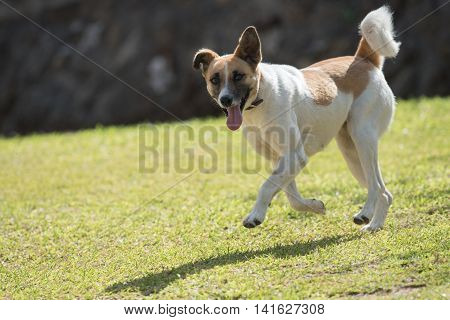 A White And Brown Patched Dog Bounding On A Lawn