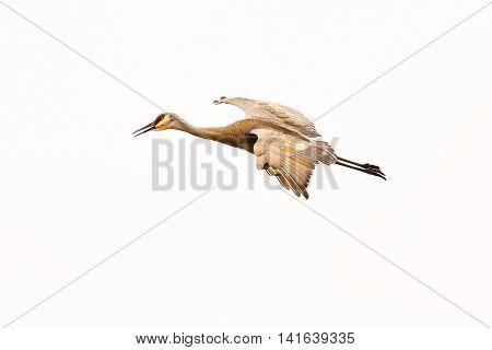 A Sandhill crane flying through a Wisconsin sky.
