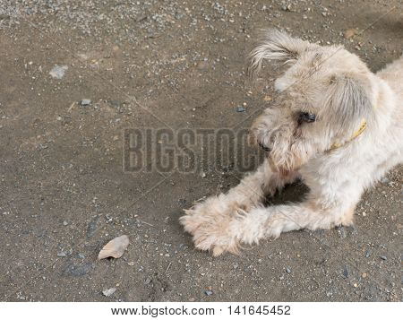 Old Maltese Dog With Cataract