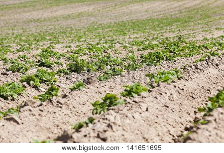 furrow plowed land on which grow potatoes. close up, spring season poster