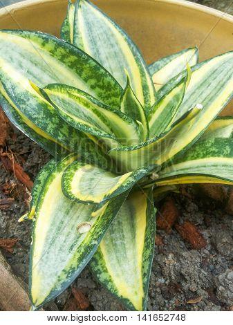 green Sansevieria trifasciata plants in nature garden