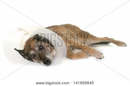 unwell belgian shepherd in front of white background