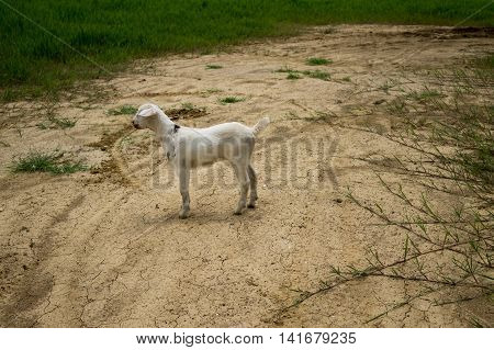 The white goat stands alone among the droughty ground.