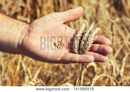 Male hand holding a golden wheat ear and grains of wheat in the wheat field. Male hand inspecting wheat ear. Farmer hand on wheat field background. Harvest. Agriculture concept.