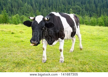 funny black and white cow grazing on meadow in mountains. Cattle on a mountain pasture. Cow in pasture. Mountain meadow. Green meadow in mountains and cow, summer landscape.