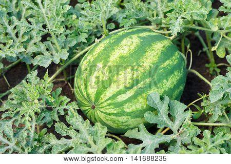 melon field with ripe watermelon in summer. Watermelon in vegetable garden. Watermelon. Watermelon farm