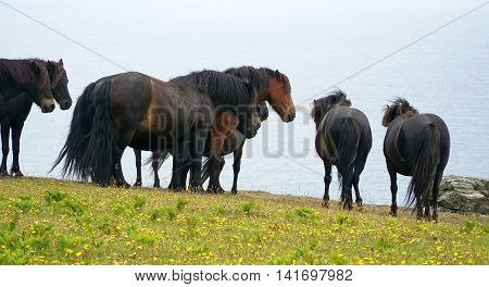Windswept ponies huddle together in a clifftop meadow