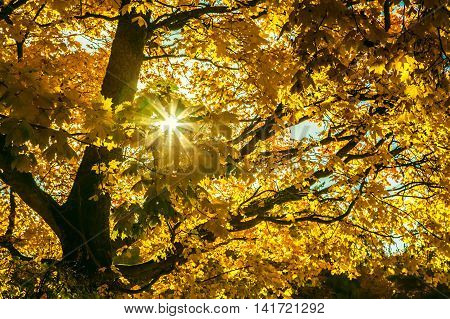 Autumn Maple Trees With Yellow Leaves And Bright Sun