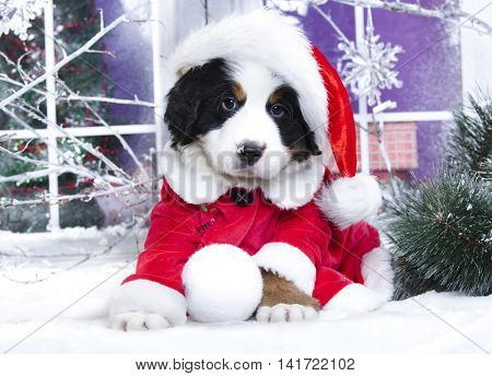 Christmas wreath on neck Bernese Mountain Dog