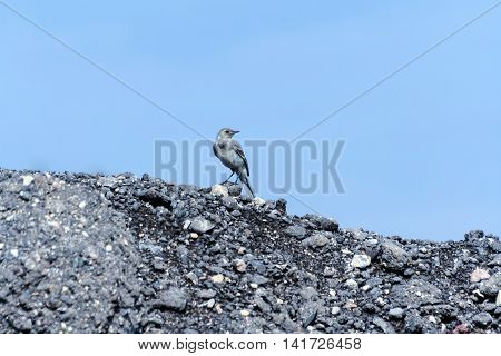 small gray bird with a long tail and yellow beak jumps over the mountain with black stones