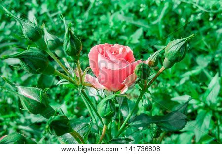 Beautiful flower pink rose on a natural background