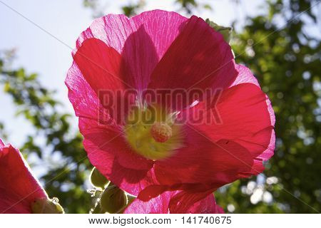 Hollyhock in great light on a summer day