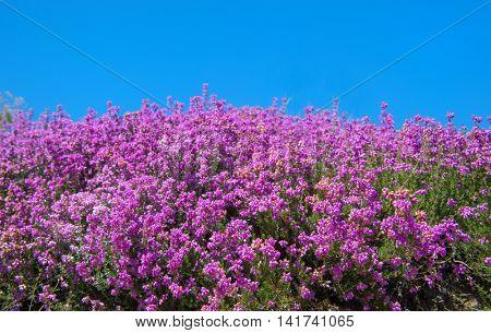 Purple blooming heath with blue sky in the fields