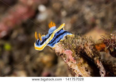 Chromodoris Annae Nudibranch Sea Slug