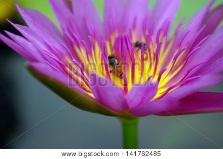 Purple petal and Yellow pollen of Water Lily