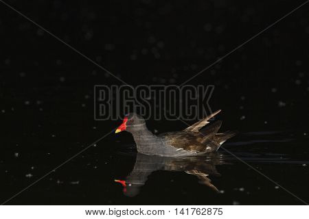 Common moorhen in the night on the lake, swimming at night, nocturnal animals, nocturnal
