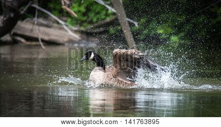 Canada goose loves bathing and frolicking with enthusiasm in the waters of the Ottawa River.