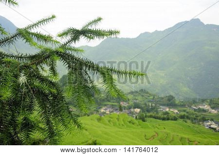 A yew bush with the mountains and a small village near the Cloud Rice terraces of Yunhe county in Chaoshan in zhejiang province China in the background.