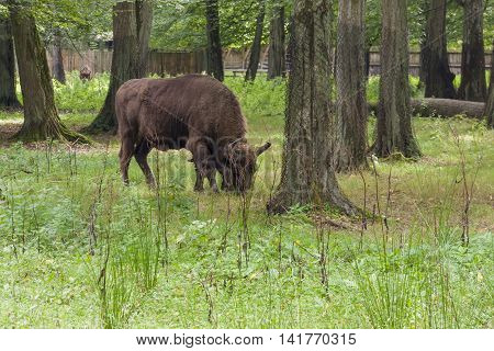 Aurochs in Bialowieski National Park - Poland.