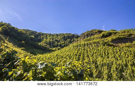 grapevines at the Mosel in summer with blue sky