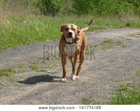 Guarding pit bull dog standing on path
