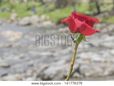 Red Rose At River