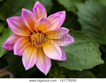 View of a Pink and yellow Dahlia close up