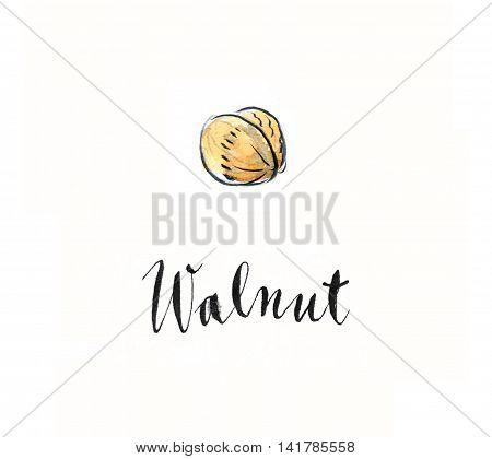 Nut - walnut watercolor hand drawn - Illustration