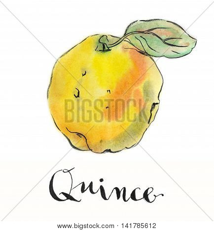 Yellow quince hand drawn - watercolor Illustration