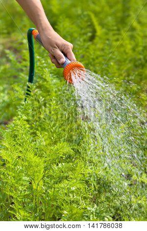 hand of gardener watering carrot in the vegetable garden