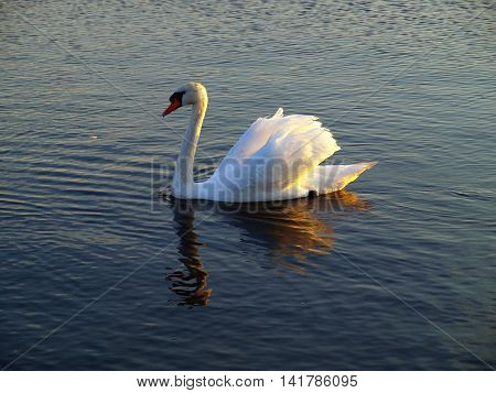 Swan at sunset. Swinoujscie, Poland  White Swan at sunset on the coast of the Baltic Sea in Swinoujscie.
