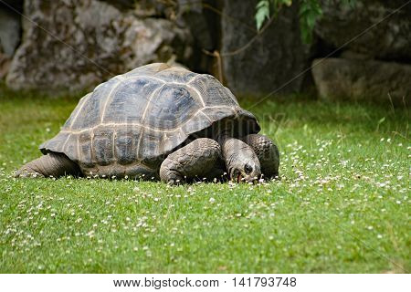 The Aldabra Tortoise Dipsochelys dussumieri grazing on grass.