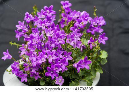 Poor Light Wb Close Up Of Purple Campanula Portenschlagiana Flowers On Dark Background