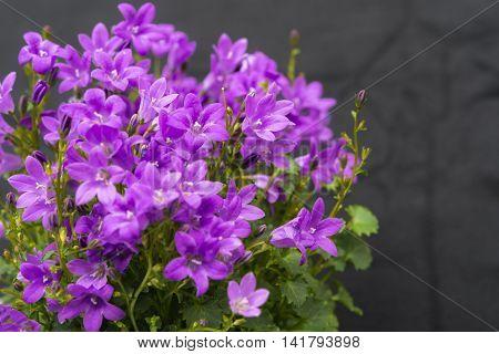 Close Up Of Purple Campanula Portenschlagiana Flowers On Dark Background