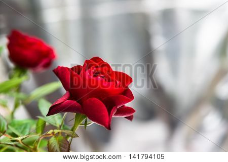 Aromatic Red Roses Bouquet, Queen Of Flowers Symbol For Eternity Love