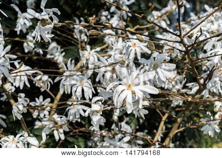 Abloom White Star Magnolia Closeup Blossoming Flowers Dark Vintage Background