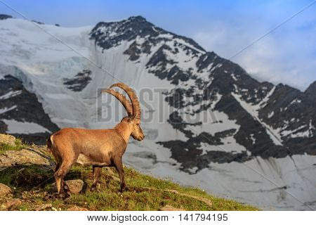 Ibex Range of Mont-Blanc. In background Glacier du Bionnassay