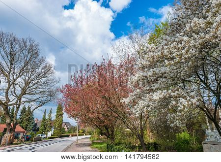 Blooming Trees In Springtime Against Blue Sky With White Clouds
