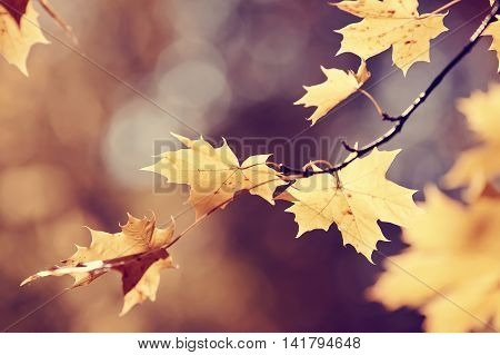 Yellow maple leaves on branch in autumn. Golden autumn.